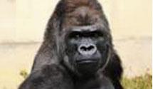 "Popular Primate Inspires Gorilla Dating Game ""Gorilla Boyfriend"""